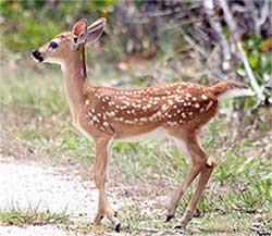 key-deer